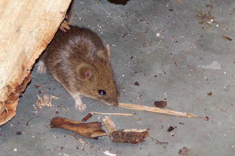 How to Protect Your Car from Rodents?